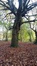 Knarly tree in a park. Royalty Free Stock Photo