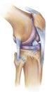Knee - Anterolateral View Royalty Free Stock Photo