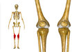 Knee joints the joint is one of the strongest and most important in the human body it allows the lower leg to move relative to the Stock Image