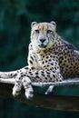 König Cheetah Stockbild