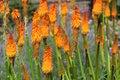 Kniphofia Flowers