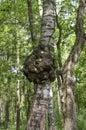 Knob on a trunk of silver birch betula pendula Stock Images