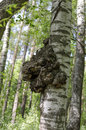 Knob on a trunk of silver birch betula pendula Royalty Free Stock Photos