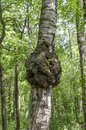 Knob on a trunk of silver birch betula pendula Royalty Free Stock Images
