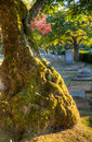 Knobbly old tree in a graveyard ross bay cemetery victoria bc canada Royalty Free Stock Photos