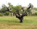 Knobbly Old Tree Royalty Free Stock Photo
