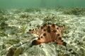 Knobbly sea star mabul island sabah Royalty Free Stock Photography