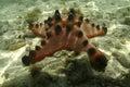 Knobbly sea star mabul island sabah Stock Photo