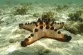 Knobbly sea star mabul island sabah Stock Photos