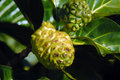 Knobby Noni Stock Photo