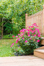 Knock out rose bush in the garden Royalty Free Stock Photo