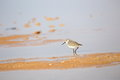 Knot bird in ras mohammad national park Royalty Free Stock Images