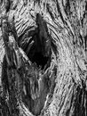 Knot of old dry tree wooden texture Stock Images