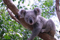 Royalty Free Stock Image Koala
