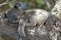 Koala Royalty Free Stock Photo