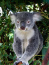 Koala in Australia Stock Photography