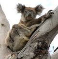 Koala in Australia Royalty Free Stock Photography