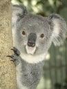 Koala in australia gorgeous sydney not a bear a marsupial Royalty Free Stock Image
