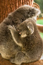 Koala baby Royalty Free Stock Photo