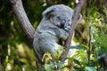 Koala Bear Stock Photography