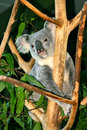 Koala Bear Stock Images