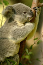 Koala Bear Royalty Free Stock Images