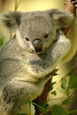 Koala Bear Royalty Free Stock Photo