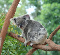 Koala Bear Stock Image