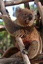 Koala bear Royalty Free Stock Photos