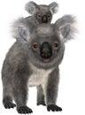 Koala Bear, Baby Joey, Isolated Royalty Free Stock Photo