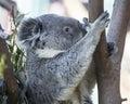 Koala bear climbing tree side view Stock Images