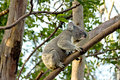 Koala bear climbing a tree in sydney australia an adult about to climb branches Royalty Free Stock Image