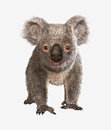 Koala bear cute on white background Stock Photography