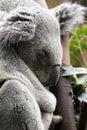Koala bear at edinburgh zoo Stock Photos