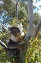 Koala bear in an eucalypts tree Royalty Free Stock Images