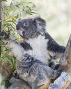 Koala Bear and Eucalyptus Tree Royalty Free Stock Photo