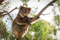 Koala bear with its baby is sitting on the tree Royalty Free Stock Images