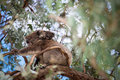 Koala bear and its baby with sitting on the tree Royalty Free Stock Images