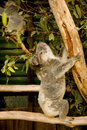 Koala Bear with Joey on a eucalyptus tree Royalty Free Stock Image