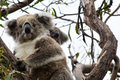 Koala bear with joey latin phascolarctos cinereus sitting in a tree a young on its back Royalty Free Stock Photography