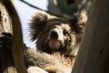Koala bear latin phascolarctos cinereus looking sitting in a tree Stock Images