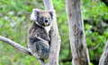Koala bear in melbourne Royalty Free Stock Photo