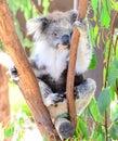 Koala Bear In Melbourne