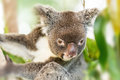 Koala Bear perched in a Gum Tree Royalty Free Stock Photo