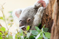 Koala a bear sits on branch of tree Royalty Free Stock Photos