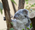 Koala a bear sits on branch of tree Stock Image