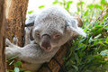 Koala a bear sits on branch of tree Royalty Free Stock Photography