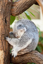 Koala bear sits on a branch of a tree and sleeps Stock Photo