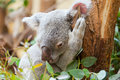 Koala a bear sits on branch of tree and sleeps Royalty Free Stock Photos