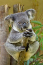 Koala bear sitting on a branch Royalty Free Stock Photography